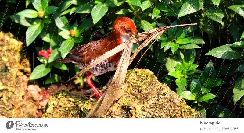 Vogel am Nestbau rot Blatt Stein laufen Sträucher bauen Zweig Schnabel tragen vertrocknet