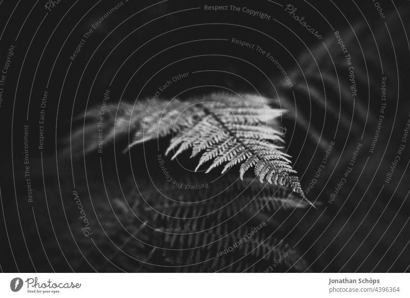 Farn kommt hervor aus Dunkelheit Menschenleer Detailaufnahme Nahaufnahme Hintergrundbild Naturwuchs Blatt Außenaufnahme ästhetisch Wald Park Garten Pflanze