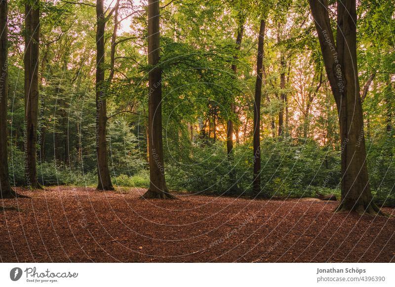 leuchtender Wald mit Abendsonne hinter den Bäumen Grünkraft Baum Küchwald Natur Sonne Außenaufnahme Sonnenlicht Licht Menschenleer Farbfoto Landschaft grün