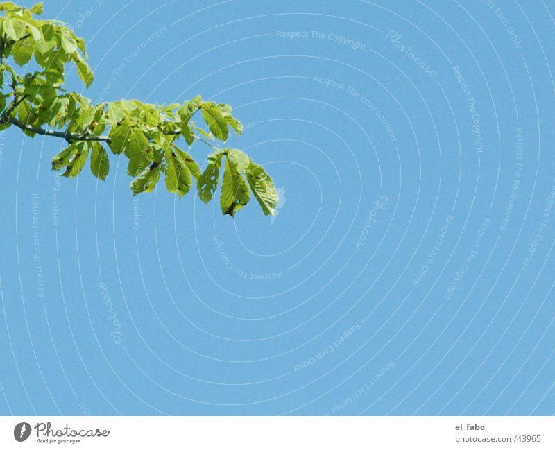 Das letzte Bisschen Sommer Himmel Baum blau Blatt Herbst Ast Zweig Kastanienbaum