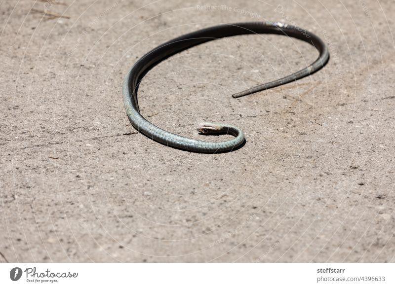 Tote schwarze südliche Ringelnatter Coluber constrictor priapus Rennfahrer aus dem Süden Schwarzer Rennfahrer aus dem Süden Schlange saurisch schwarze Schlange