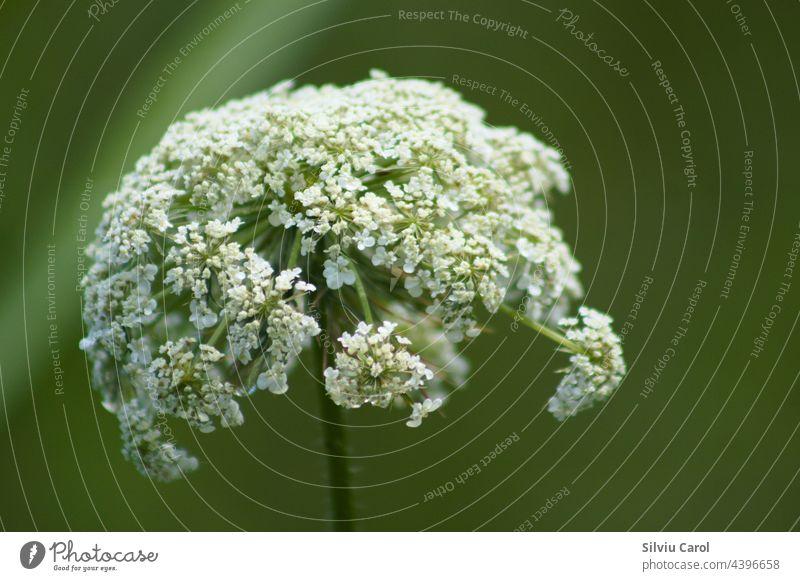 Wilde Möhre Blütenstand Nahaufnahme mit grünem verschwommenen Hintergrund Ansicht Blume Natur Pflanze Flora Samen weiß dolden Makro natürlich Blütezeit geblümt