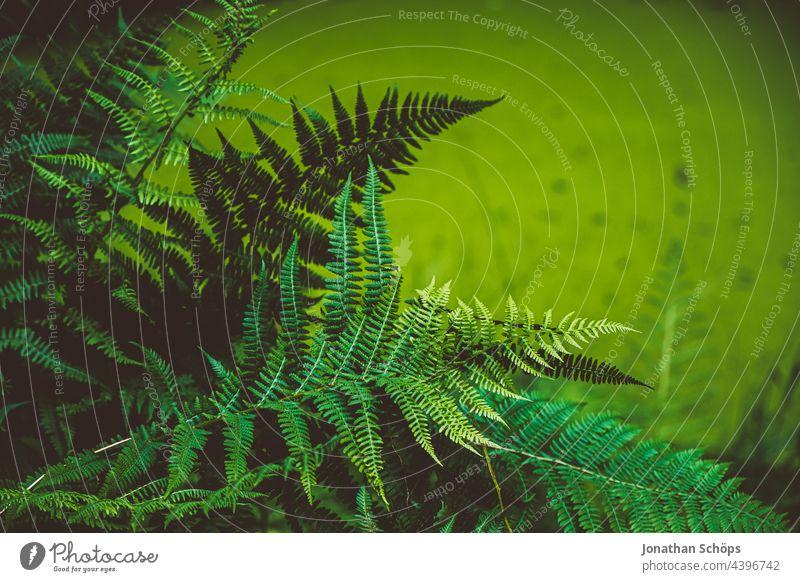Farne am Teich im Wald in grün Blattgrün organisch natürlich Sporen frisch Natur Echte Farne Farbfoto Wachstum Farnblatt Pflanze Botanik Grünpflanze Umwelt