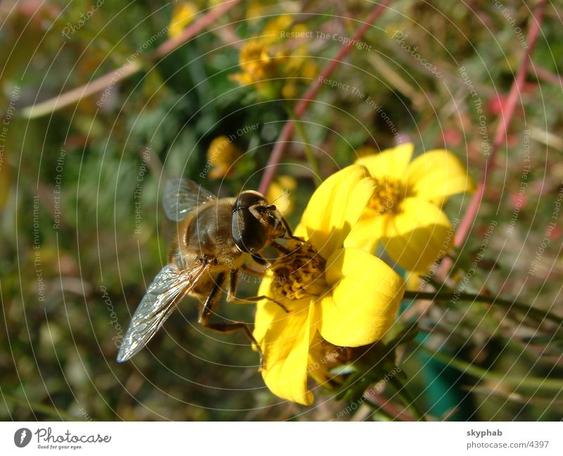 Myiatropa florea Blume Verkehr Biene