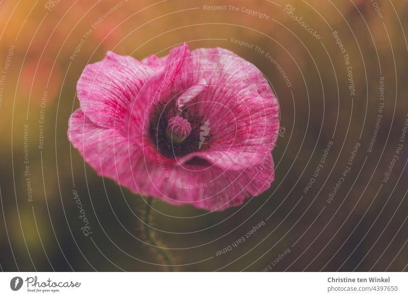 Tanz im Blumenbeet -  Mohnblüte so zart und leicht -  wirkt fast schwerelos Papaver rhoeas Seidenmohn Klatschmohn Sommer Frühsommer Mo(h)ntag pink rosa blühend
