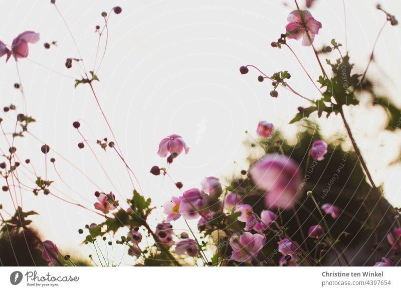 zarte rosa Herbstanemonen im morgendlichen Gegenlicht Anemone hupehensis rosa Blume Herbst-Anemone Morgenlicht Garten Froschperspektive Blüte Pflanze Blühend
