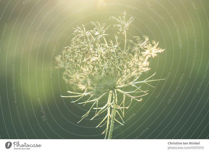 Schönheit im August, verblühte Wilde Möhre, zart im Sonnenlicht Blüte Blütendolde Doldenblüte Doldenblütler Wildpflanze Sommer Wildblume Schwache Tiefenschärfe