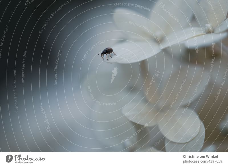 Kleiner Käfer balanciert vorsichtig am Rande einer Hortensienblüte und schaut in den Abgrund balancieren Angst mutig Blüte Hortensienblüten Rispenhortensie