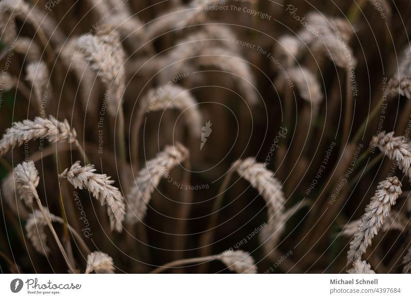 Weizen: Weichweizen  (auch Brotweizen oder Saat-Weizen) Weizenfeld Weizenähre Ähren Getreide Feld Sommer Nutzpflanze Pflanze Landwirtschaft Getreidefeld