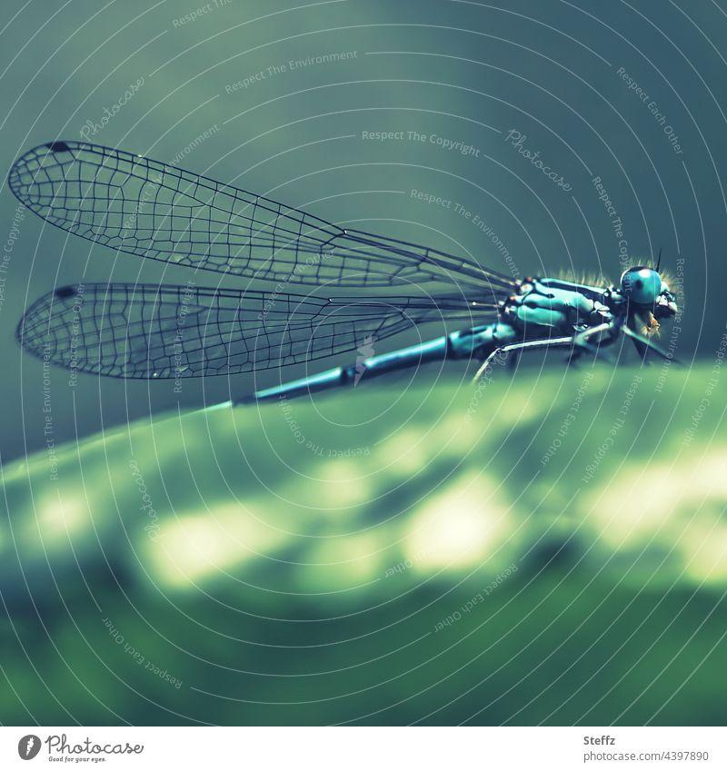 Blaue Libelle macht eine Verschnaufpause Blaue Federlibelle Platycnemis pennipes Gemeine Federlibelle Kleinlibelle Libellengesicht Libellenflügel Libellenauge