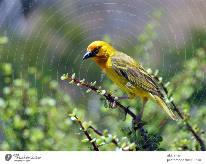 piep Natur grün Pflanze Tier gelb Umwelt natürlich Vogel Wildtier Sträucher Feder Flügel