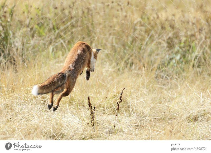 Fang die Maus - Fuchs-Darß Umwelt Natur Landschaft Tier Wildtier 1 springen braun grün Jagd Naturschutzgebiet Farbfoto Menschenleer Textfreiraum rechts Tag