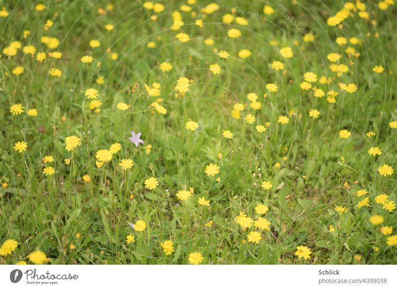 Wiese mit vielen gelben Wildblumen und einer blauen Glockenblume anders verschieden selektiver Fokus geringe Tiefenschärfe Nahaufnahme Draufsicht Schrägaufnahme