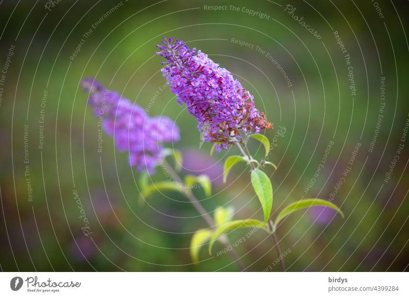Sommerflieder, Schmetterlingsflieder, Buddleja davidii. Blüten , schwache Tiefenschärfe Schmetterlingsbaum blühen Nahaufnahme lila grün