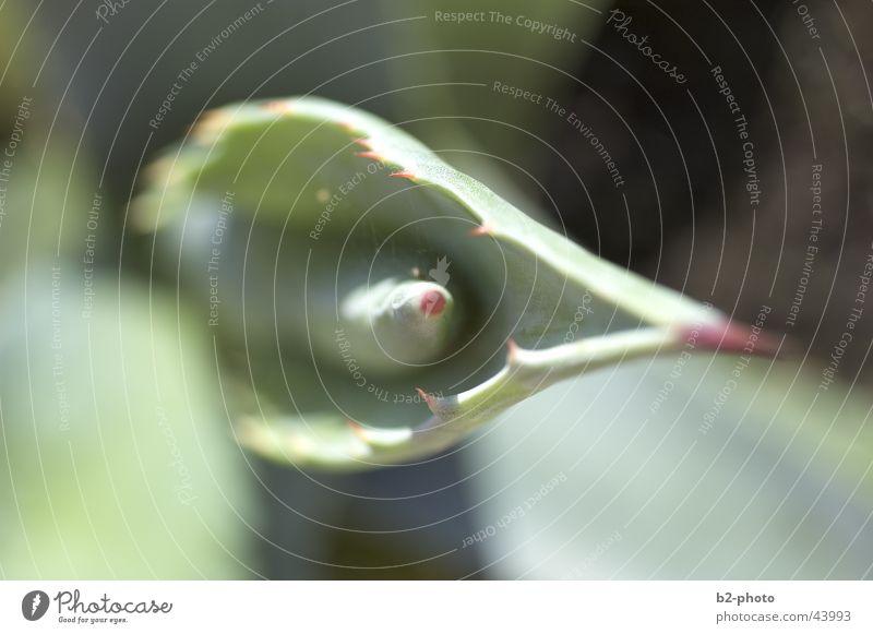 agavenspitze Pflanze grün Vogelperspektive Blatt Agave Grünpflanze Spitze Stachel Schmerz
