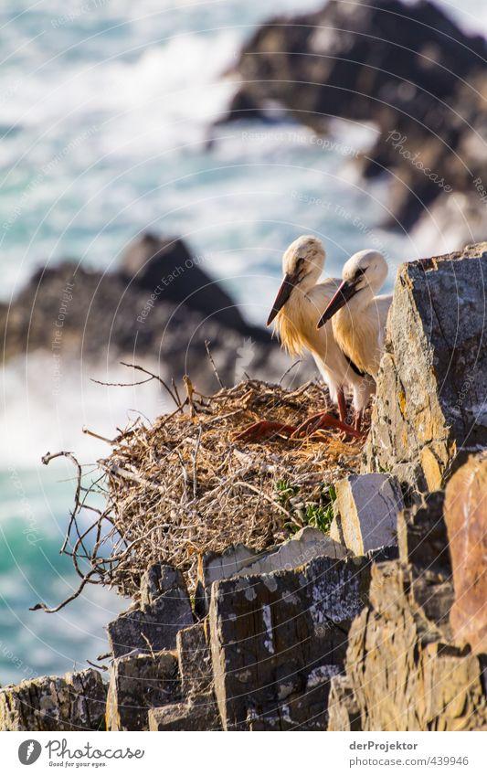 Störche nisten auf Felsen –Portugal 2013 Umwelt Natur Landschaft Tier Urelemente Sommer Küste Meer Wildtier Vogel Tierjunges ästhetisch sportlich authentisch