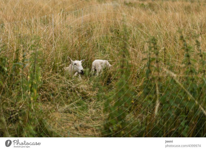 Schafsmama mit Lämmchen versteckt im Gas Schafherde blöken stehen liegen sitzen Tier Tiere Nutztier Wiese Nutztiere Tiergruppe Tierfamilie
