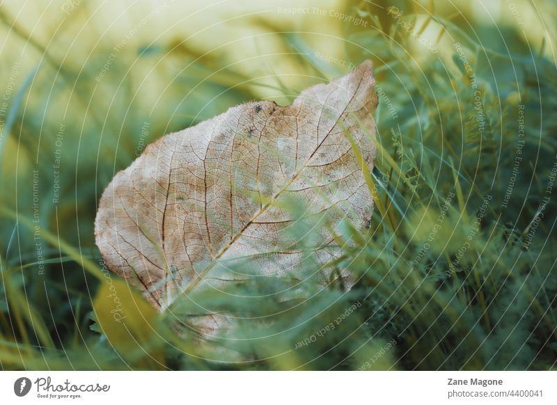 Gefallenes Blatt im grünen Gras, Frühherbst Textur Herbstbeginn Traurigkeit Wind abstrakt Einsames Blatt gefallen früh Zu früh Der Herbst kommt Ende des Sommers
