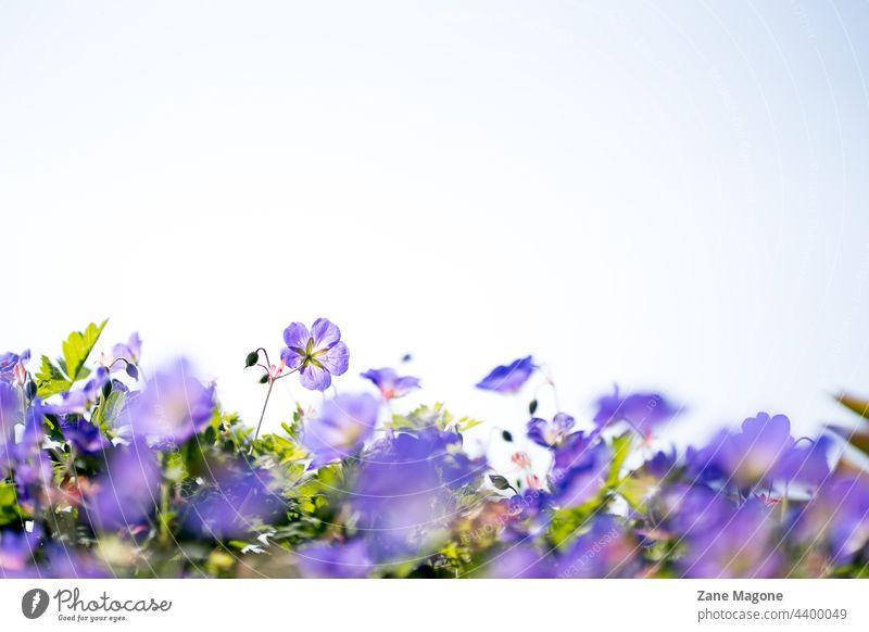 Geranium 'Gerwat' ROZANNE, (Storchschnabel), floraler Hintergrund mit Kopierraum gerwat Kranichschnabel purpur blumiger Hintergrund Textfreiraum Garten Blüte