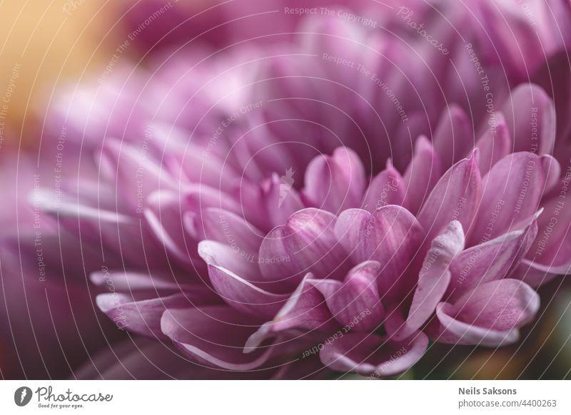 Chrysanthemenblüte als Hintergrund in Großaufnahme. Lila Chrysantheme im Herbst. Chrysantheme Tapete. Floraler Hintergrund. Selektiver Fokus Frische