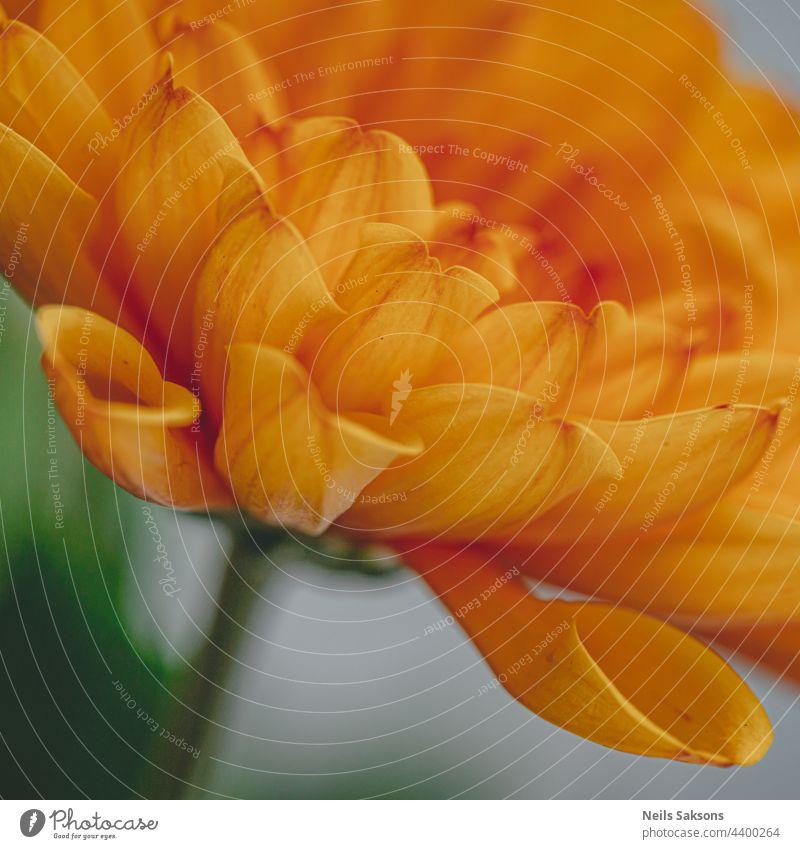 Makroaufnahme einer orangefarbenen Chrysantheme auf unscharfem Hintergrund in Nahaufnahme Sahne Dekoration & Verzierung pulsierend Fokus Objekt Blütenblätter