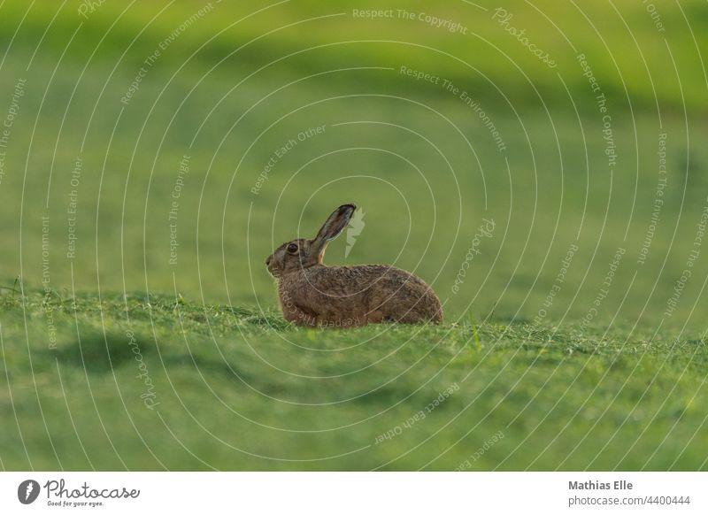 Hase entspannt sich auf der frisch gemähten Wiese Hasenohren Tierliebe Schutz dunkelgrün gedeckte Farben Tageslicht Wachsamkeit wild Gras Unschärfe Menschenleer