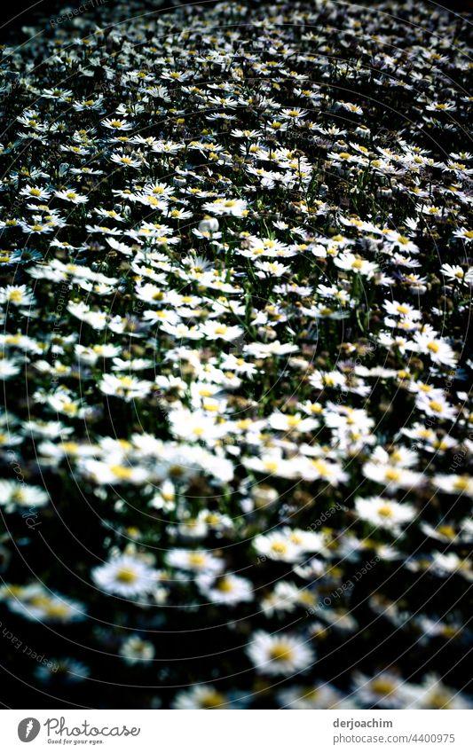 Ganz ganz viele Gänseblümchen,  auf einer Stelle. Blumen Farbfoto Blumen und Pflanzen Sommer Außenaufnahme Blühend Blüte grün natürlich Nahaufnahme Blütenblatt