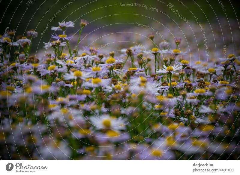 1001 x  Gänseblümchen blühen noch. Blumen Natur Blüte Blühend Pflanze Farbfoto Blumen und Pflanzen natürlich Außenaufnahme Sommer Blütenblatt Umwelt gelb