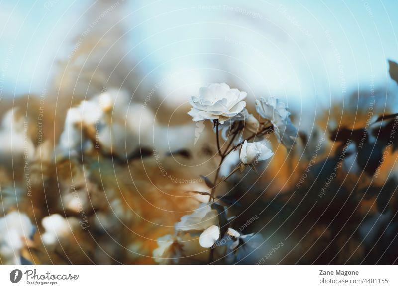 Launische Rose, abstrakte Blume blumiger Hintergrund Garten Blüte Blütezeit Schönheit Sommer geblümt Überstrahlung Nahaufnahme Feld schön Rosengarten weiße Rose