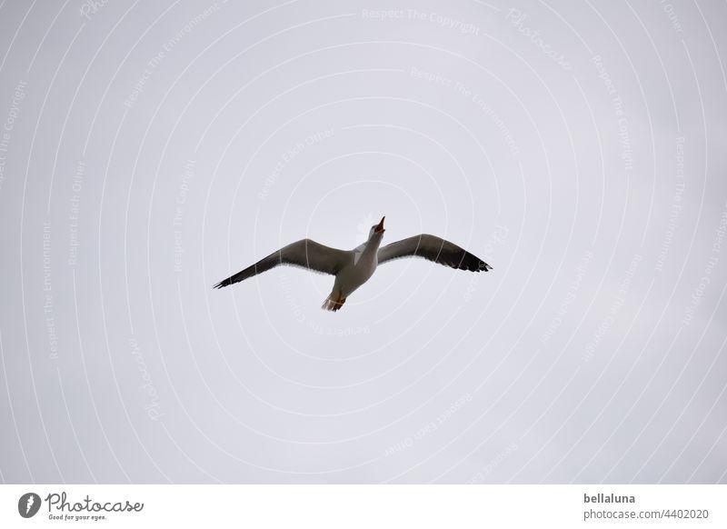 kreischende Silbermöwe Vogel Tier Außenaufnahme Farbfoto Natur Menschenleer Tag Wildtier Umwelt natürlich Tierporträt Freiheit Tiergesicht Ornithologie Ferne