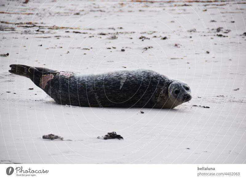 verletzte Robbe vor Helgoland Robben Robbenkolonie Tier Farbfoto Außenaufnahme Wildtier Natur Küste Umwelt Tag Strand Menschenleer Meer Nordsee Wasser Insel