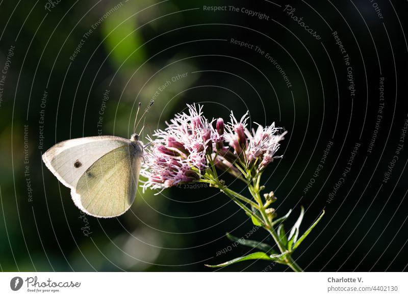 Kleiner Kohlweißling Schmetterling kohlweißling kleiner Kohlweißling Tier Natur Farbfoto Außenaufnahme Blüte Flügel Insekt Pflanze Sommer Nahaufnahme Blume