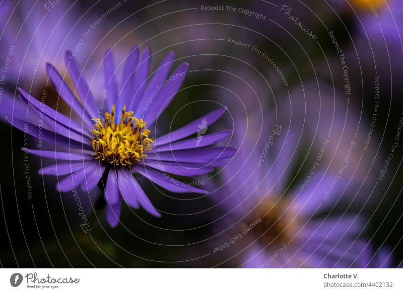 Violetter Rausch mit etwas Gelb Blüte Blütenstempel Blume Pflanze Makroaufnahme Farbfoto Natur Nahaufnahme Außenaufnahme Blühend Sommer gelb violett lila