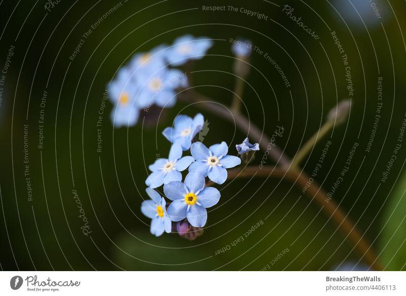 Blaue Vergissmeinnicht-Blumen über Grün Myosotis vergiss mich nicht Blütenkopf blau purpur Frühling viele grün Hintergrund Makro Nahaufnahme Blütezeit Gartenbau