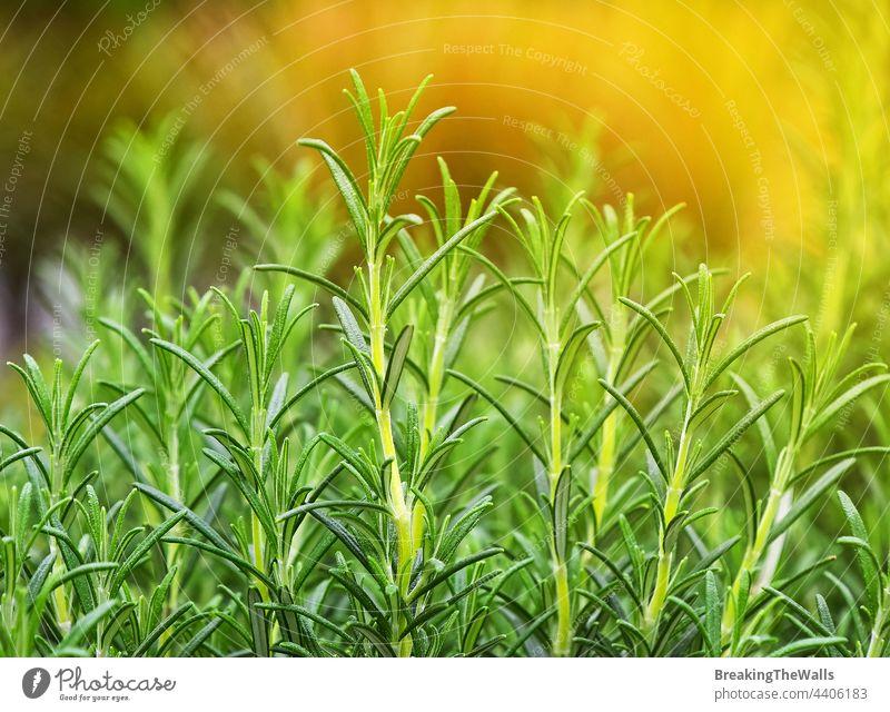 Grüner frischer Rosmarin würzige Kräutersprossen grün Nahaufnahme Blätter Sprossen aufblühen Gewürz Garten Ackerbau Lebensmittel Rosmarinus officinalis Kraut