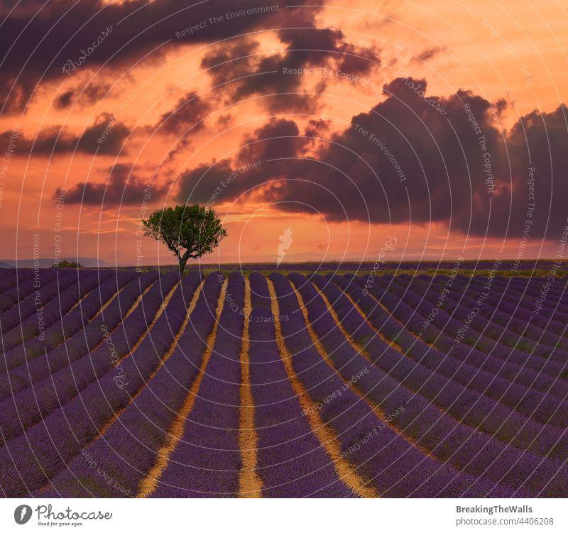 Violettes Lavendelfeld der Provence Feld Überstrahlung Blüte purpur Tag Blumen Frankreich Himmel dramatisch malerisch Natur Baum schön ländlich Ackerbau