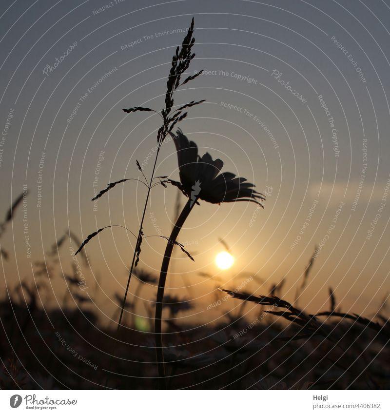 Silhouette von Gräsern und einer Margarite vor der Abendsonne Blume Blüte Abendstimmung Stimmung Gras Himmel Sonne Licht Schatten Sommer Natur Pflanze