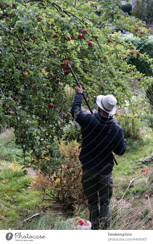 junger Mann mit Hut bei der Apfelernte ernten Äpfel Apfelbaum Mensch Bioprodukte Ernte Baum Herbst frisch Garten Gesundheit Lebensmittel Obst Obstbaum