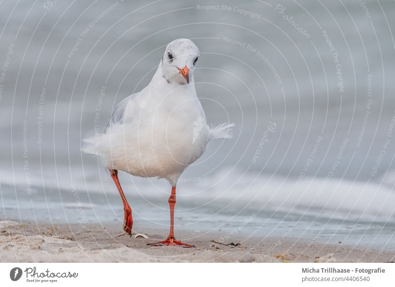 Möwe am windigen Ostseestrand Lachmöwe Chroicocephalus ridibundus Tiergesicht Kopf Auge Feder gefiedert Flügel Schnabel Vogel zerzaust Wildtier natürlich nah