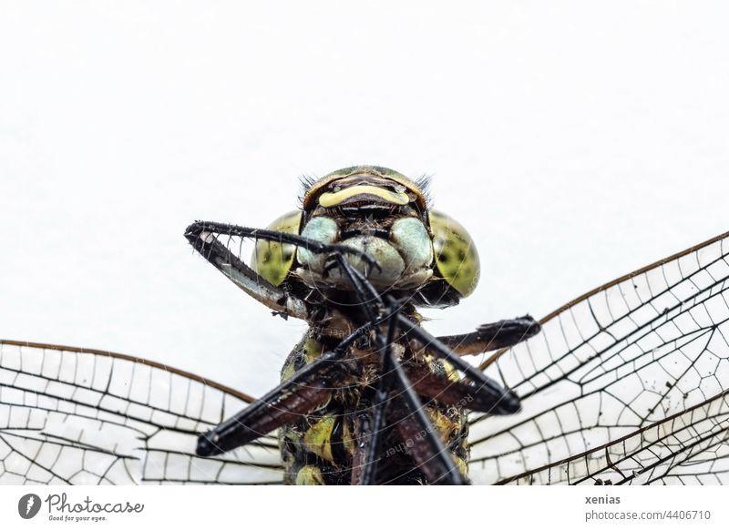 Makroaufnahme einer toten Libelle vor weißem Grund Insekt Tod Tier Tierporträt Flügel Insektenbeine Kopf Facettenaugen Insektenaugen grün Wildtier