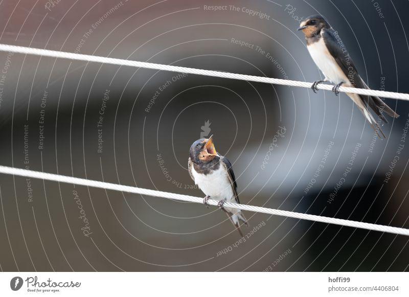 Schwalben im Monolog Schnabel aufreissen Vogel Dialog schimpfen meckern Tierporträt Wildtier Tiergesicht Blick