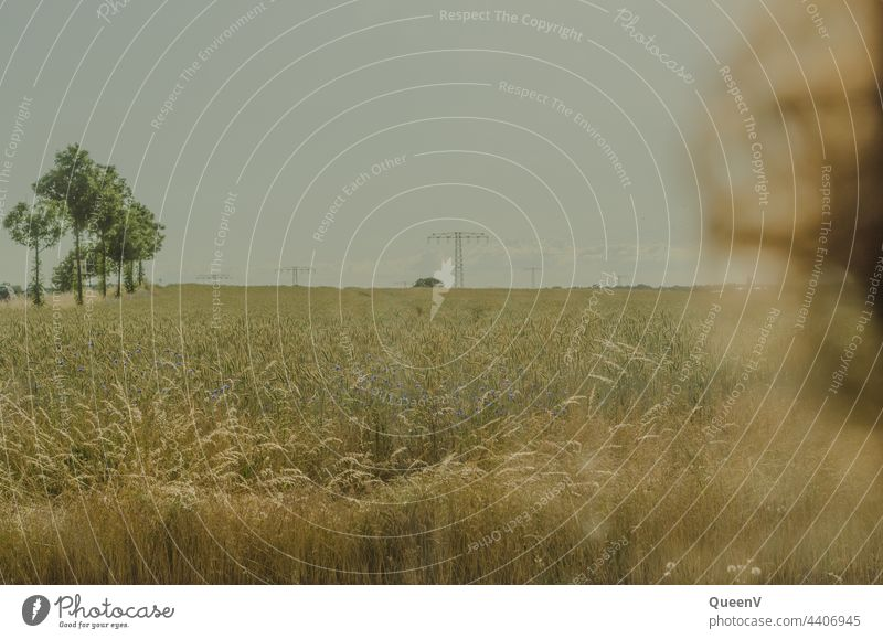 Eine Person schaut ein Weizenfeld in Sommer Feld Ernährung Hitze Getreide Landwirtschaft Getreidefeld Kornfeld Ähren Pflanze Ernte Umwelt Ackerbau Lebensmittel