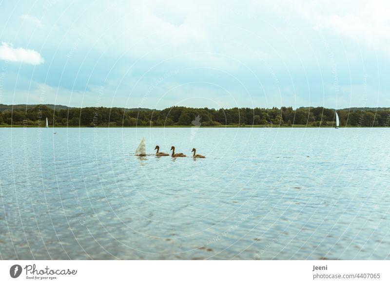 Köpfchen unters Wasser - Schwänzchen in die Höh' Schwan Schwäne Tier Tiere Schwimmen & Baden schwimmen See Vogel weiß Jungtier Jungtiere Im Wasser treiben Natur