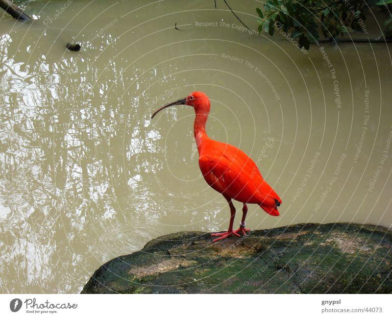 roter Sichler Vogel trüb knallig Roter Sichler Wasser
