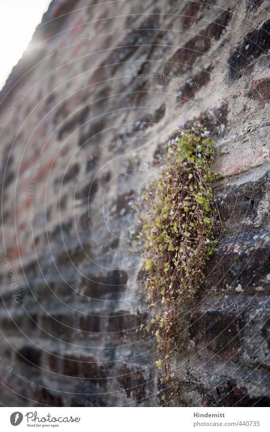 Mauerblümsche II Umwelt Natur Pflanze Blume Blatt Blüte Wildpflanze Burg oder Schloss Wand Dach Stein Backstein Blühend hängen stehen Wachstum fest hoch weich