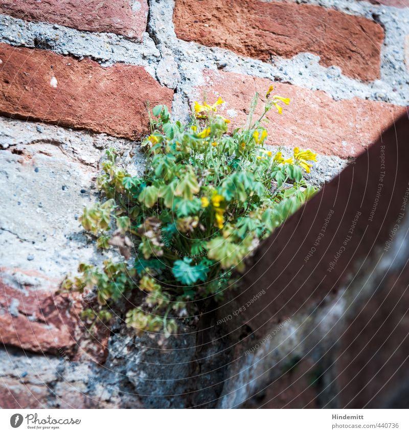 Mauerblümsche I Umwelt Natur Pflanze Schönes Wetter Blatt Blüte Wildpflanze Wand Stein Sand Backstein Blühend sitzen stehen Wachstum gelb grau grün rot Schutz