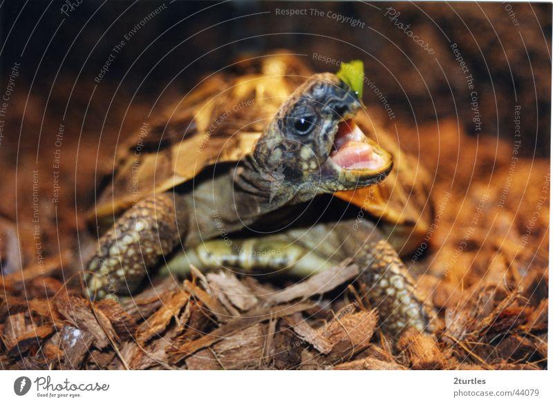 meine schildi nimmersatt offen Appetit & Hunger Maul Schildkröte gepanzert Salatblatt Griechische Landschildkröte