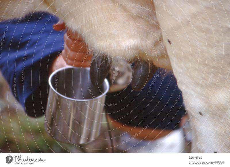 milkshake Kuh Milch Becher melken Euter Zitze