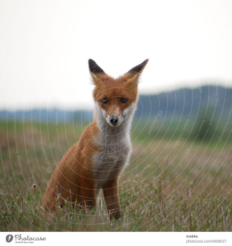 Kleiner Fuchs Porträt im Gras Tier Wildtier Natur Tierporträt Wiese Aufmerksamkeit beobachten Beobachtung Konzentration konzentriert Meister Raubtier Jagen Jagd