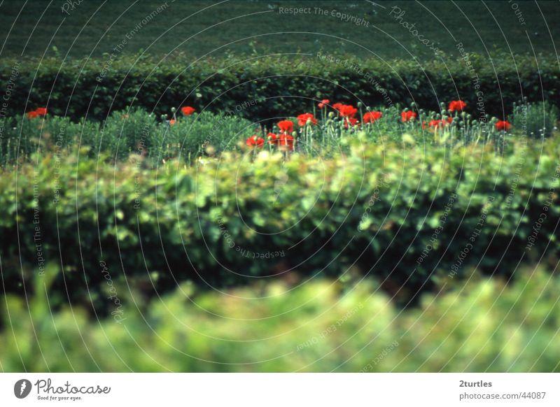 heckenschützen Blume grün rot Mohn Hecke